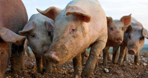 Farmers could be forced to slaughter 100,000 pigs because of CO2 shortage