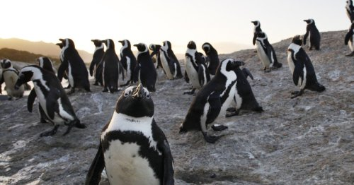 Swarm of bees kill 60 penguins by stinging them in the eyes