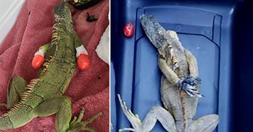Iguana found with feet tied behind its back is given special boots
