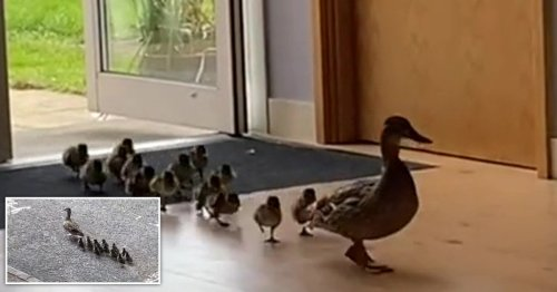 Adorable ducklings led through a school to get to a lake