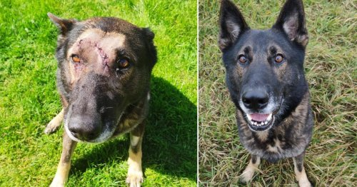 Police dog survives being stabbed repeatedly in the face