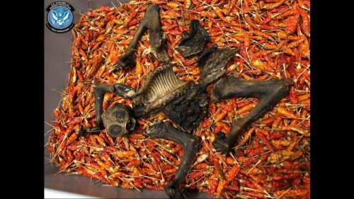 Endangered primate found dead in shipment of chili peppers mailed to the US, feds say