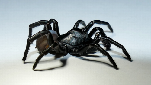 Hay una nueva especie de araña en Miami. Y este pequeñín tiene patas para días