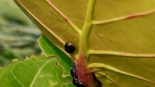 Teacher saw strange bug munching a Miami Beach seagrape. It's Florida's latest invader.