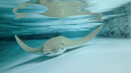 What killed the stingrays at this Florida zoo? After an investigation, some answers