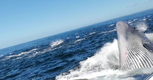 Huge whale knocks man overboard and nearly swallows him during feeding frenzy