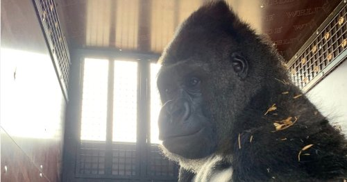UK-born 30st gorilla goes from Kent to Congo in fight to save from extinction