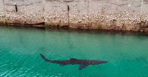 Huge basking shark swims into UK marina in second rare shore sighting in week