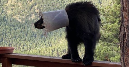 Bear freed after getting chicken feeder stuck on its head and neck for a week