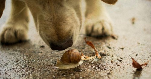 Heartbreak as lockdown puppy dies from deadly parasite found in snail slime