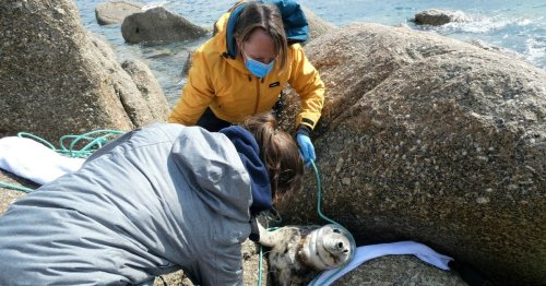 Tragic seal who lived entangled in fishing net put down after nearly drowning