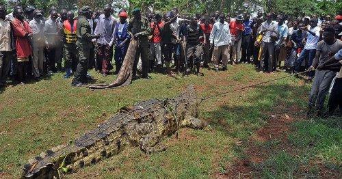 Crocodile named after Bin Laden terrorises village where it has eaten 80 locals