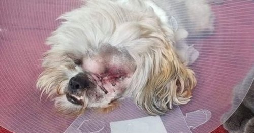 Dog left with eye hanging out after being brutally mauled during beach walk