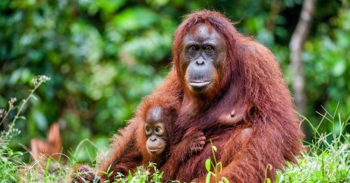 New list of animals at risk of dying out forever - from orangutans to red pandas