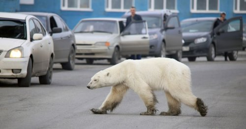 Polar bear that terrified village caught after 'world's first' 2000 mile journey