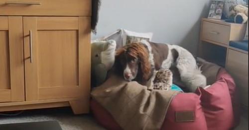 Springer Spaniel Finley accidentally learns adorable trick from Amazon Alexa