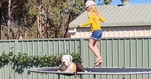 Chilled out bulldog's adorable trampoline antics