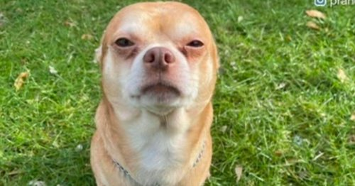 'I adopted demonic, haunted, man-hating chihuahua who held his family hostage'