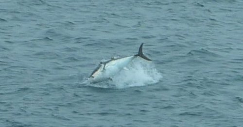 School of 'world's most expensive fish' spotted diving in air off UK coast