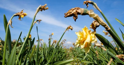 274m daffodils 'left to rot' due to labour shortage with industry under threat