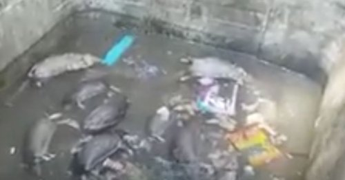 Giant dead rats seen floating in bins as refuse workers reveal waste crisis