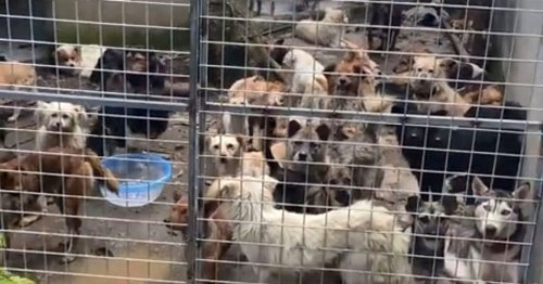 Almost 200 dogs saved after being crammed in tiny cages at slaughter house