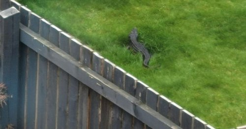 Family in 'disbelief' after spotting 4ft 'crocodile' in neighbour's garden