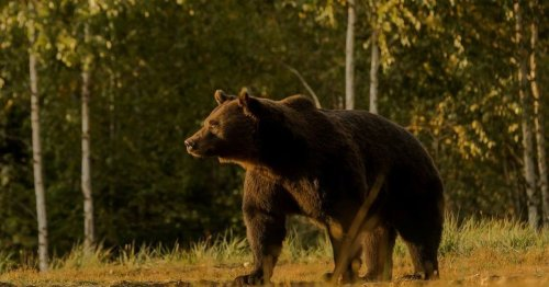 Europe's 'largest' brown bear named Arthur 'shot by prince' sparking outrage