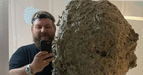 Gigantic wasps nest found in man's loft - with 100,000-strong colony inside