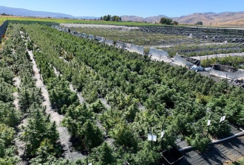 Washington state marijuana growers fear hemp-derived THC could put them out of business