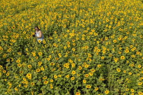 Drone footage: 'We're raised to love the land,' says owner of popular sunflower field on Zeeland farm