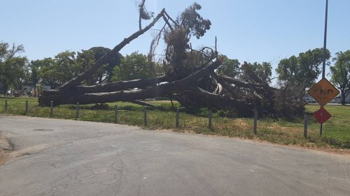 Towering tree fell in Modesto park in January. Why is city only now removing it?