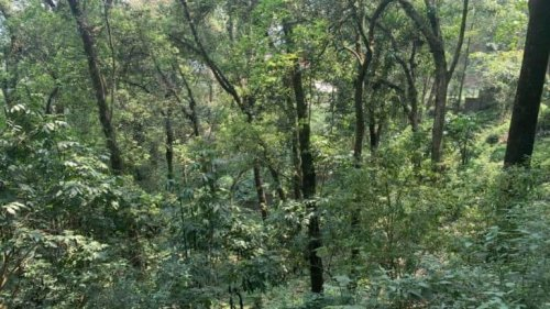 Sikkim's Urban Sacred Groves Mitigate Double The Carbon Compared To A Natural Rural Forest
