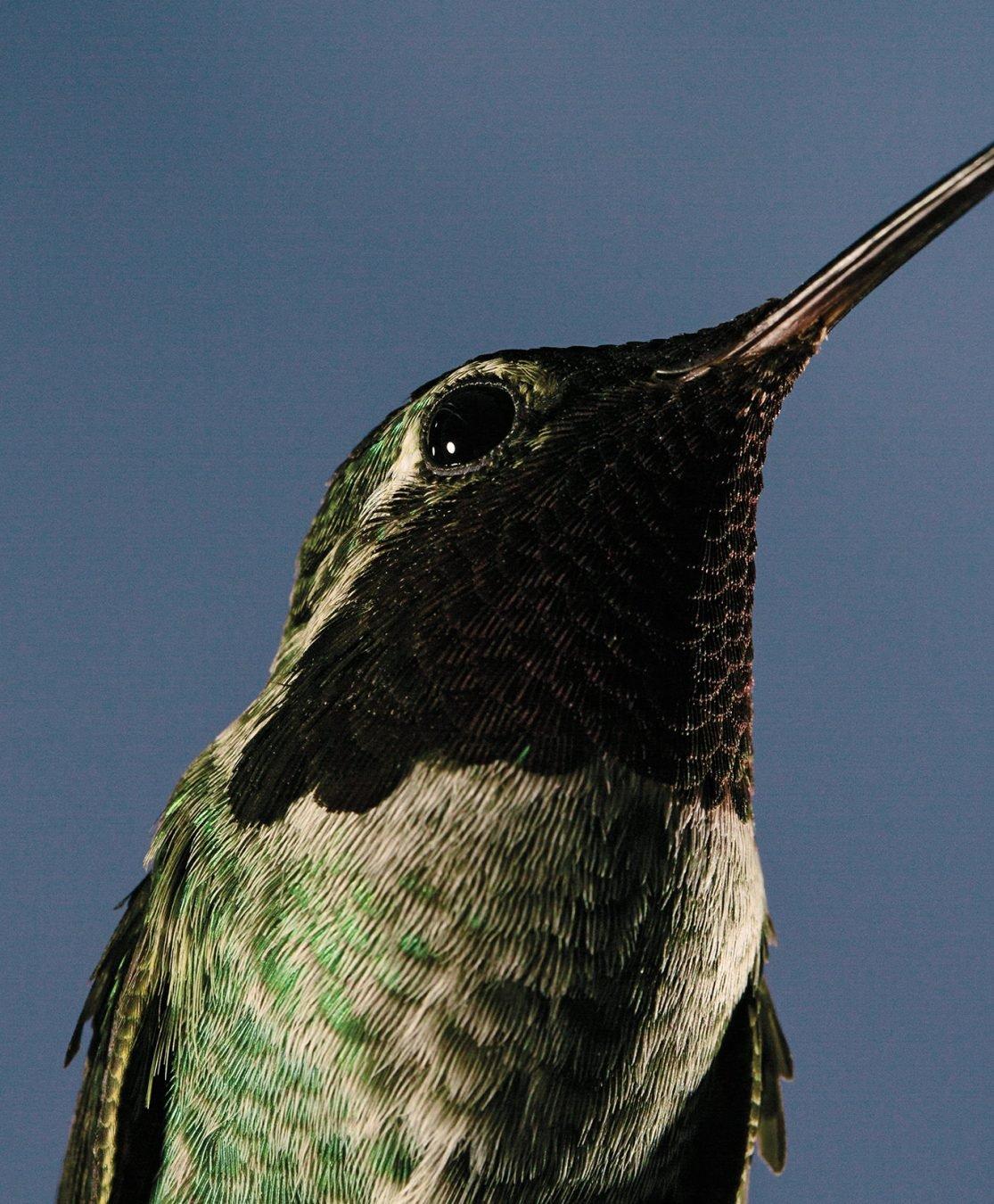 Hummingbird Research at UBC