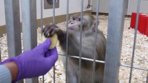 Corona-Forschung treibt Alternativen zu Tierversuchen voran