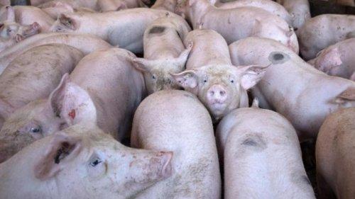 Schweinehaltung: Bayern wettert gegen Berliner Senat
