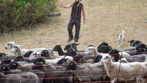 Bei sieben Wolfsattacken nur in einem Fall Herdenschutz