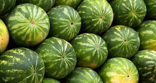 """ONSSA: Watermelon Seeds Cultivated in Morocco are Not """"Genetically Modified"""""""
