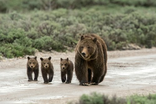 These 18 Photos of Grizzly Bears Will Make You Want to Get in Your Car and Drive to Yellowstone Right Now