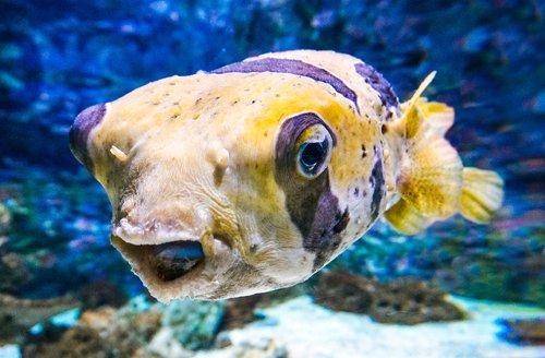У турецкого побережья обнаружено множество ядовитых рыб фугу