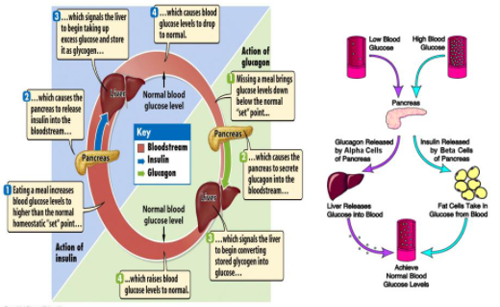 briefly explain how insulin and glucagon work in concert to regulate blood glucose. ?