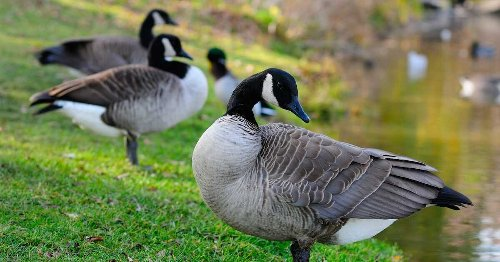 Canada Geese Are Pooping All Over LaSalle So The Borough Is Using Dogs To Evict Them