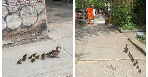 A Lost Duck Family Trekked 3 km Through The City & A Montrealer Helped Them Out (VIDEO)