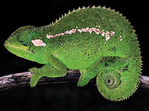Descubren una nueva especie de camaleón en Etiopía
