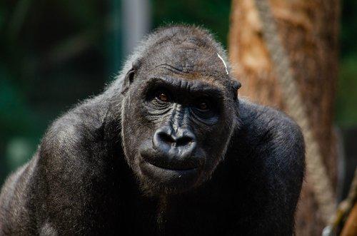 Los gorilas adoptan a crías huérfanas en la naturaleza