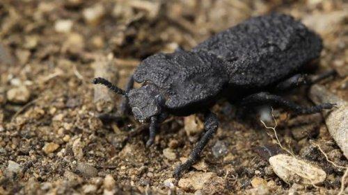 El escarabajo acorazado, un animal casi indestructible
