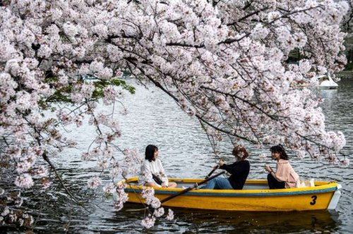 Japón registra la floración de cerezo más temprana en 1.200 años debido al cambio climático