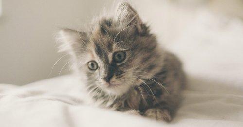 ¿Sabes cuántos años vive cada raza de gato? ¡Alucina!