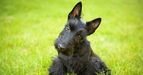 15 razas de perros terrier: características y curiosidades