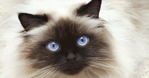 21 cosas sorprendentes que no sabes del gato himalayo